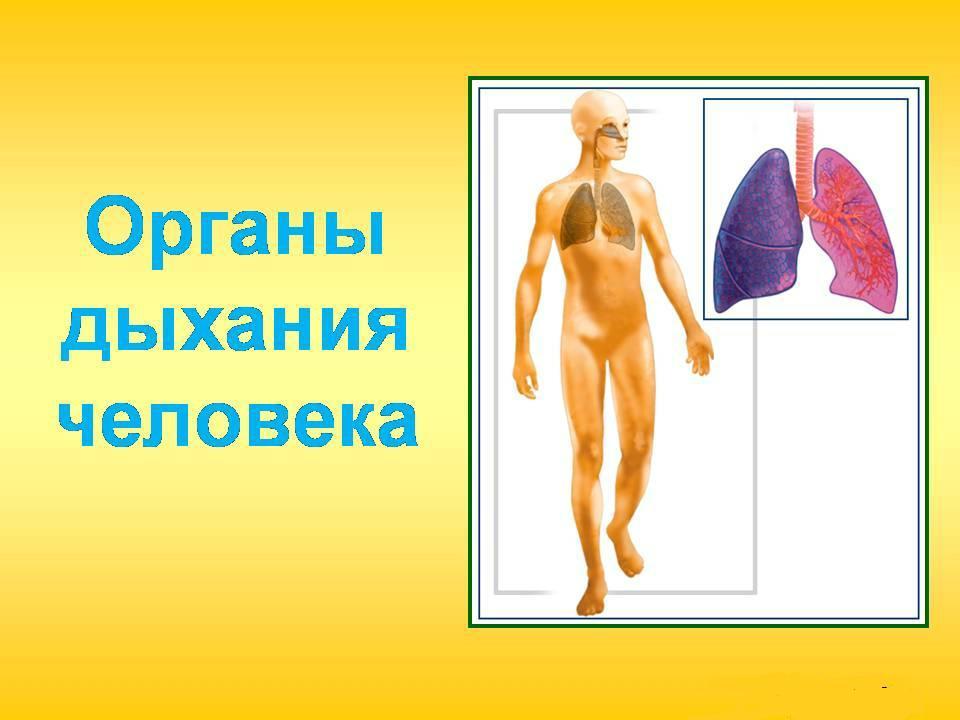 органы дыхания человека реферат